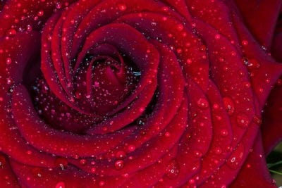 Red Rose macro with rain, by Christopher Kay