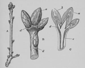 H. Marshall Ward - The Oak: A Popular Introduction to Forest-Botany, Public Domain