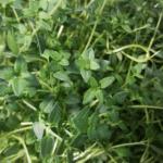 garden variety thyme