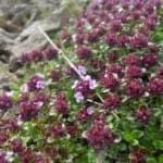 arctic thyme