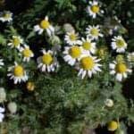 chamomile bunch