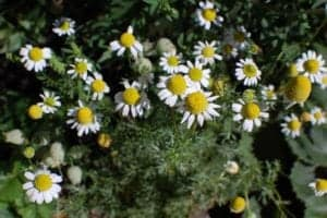 chamomile bunch