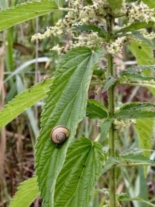 Nettle and Snail