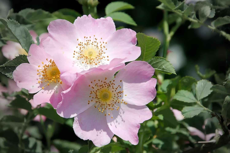 Wild rose herb