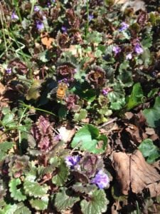 ground ivy and bee