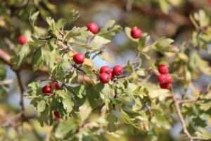 hawthorn berries2