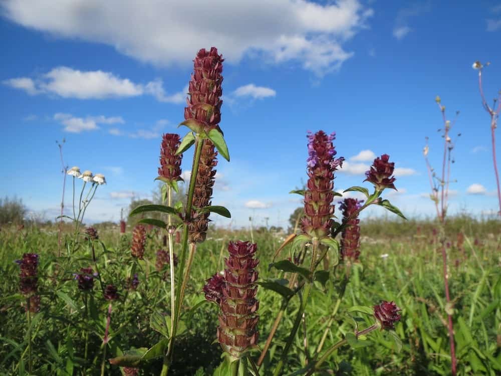 Self-Heal: Herb of the Week · CommonWealth Center for Holistic Herbalism