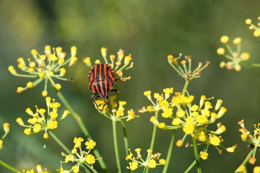 fennel and beetle