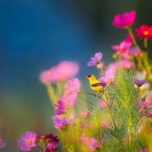 finch in flowers